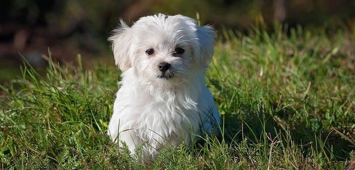 Best Dogs for elderly Maltese